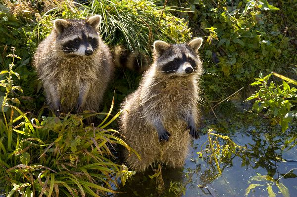 Raccoon Information