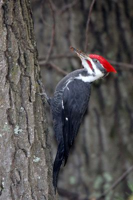 Pileated_Woodpecker_Clinging_To_Side_Of_Tree_400