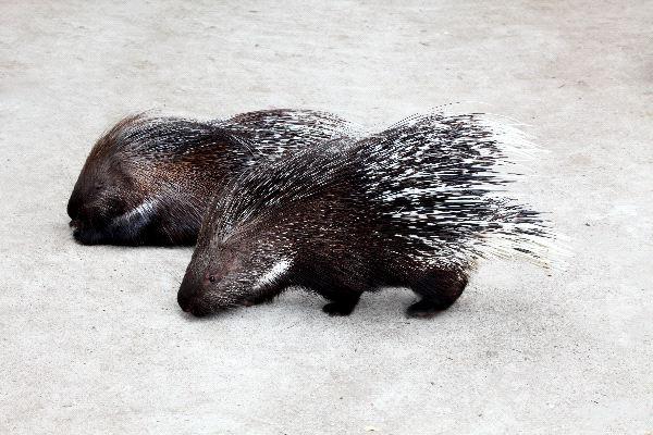 Porcupine Information