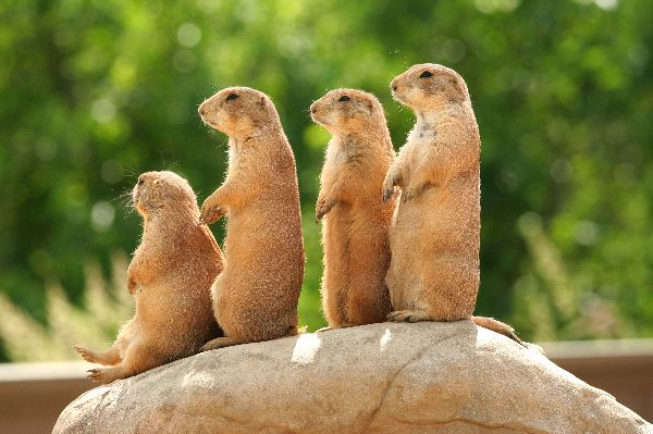 Prairie Dog Information