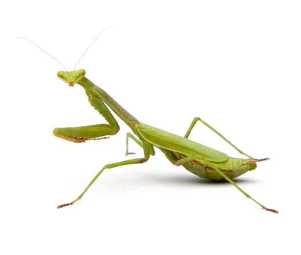 Mantis Information