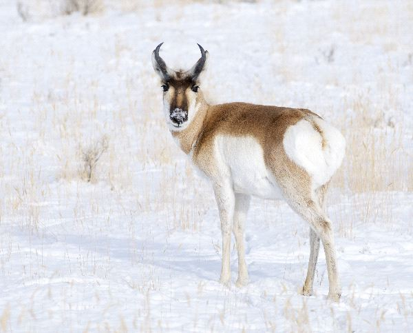 Pronghorn Facts