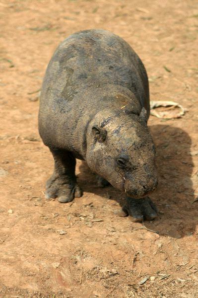 Pygmy Hippopotamus - Choeropsis liberiensis