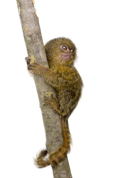 Pygmy Marmoset - Cebuella pygmaea