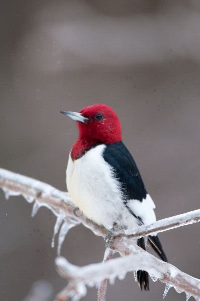 Red Headed Woodpecker Facts