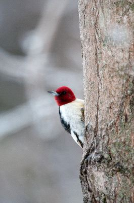 Red-Headed_Woodpecker_On_Tree_400