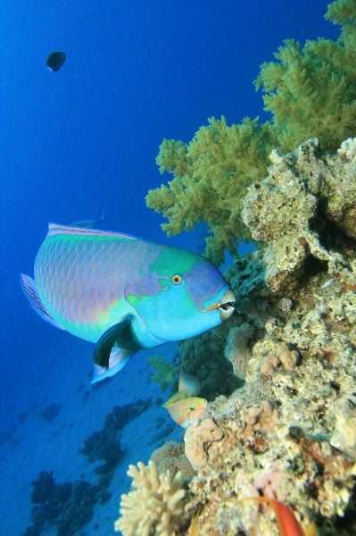 parrot fish animal facts and information