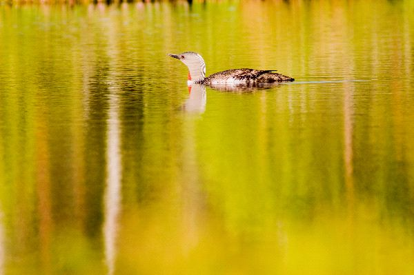 Red-Throated Loon Facts and Information