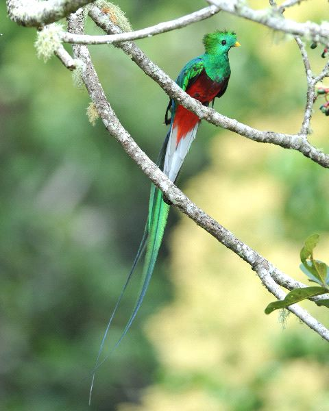 Resplendent Quetzal Facts
