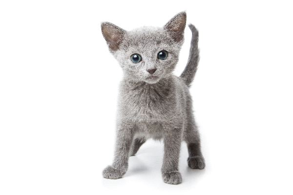 Russian Blue - Family Felidae