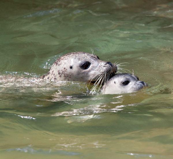 Gray Seal - Halichoerus grypus