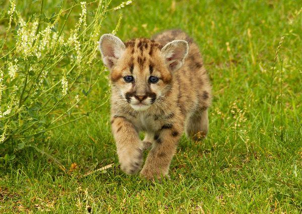 Snow Leopard - Uncia uncia