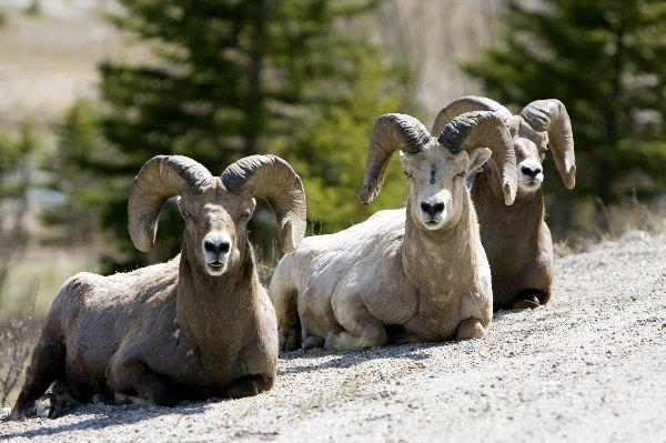 Bighorn Sheep Information