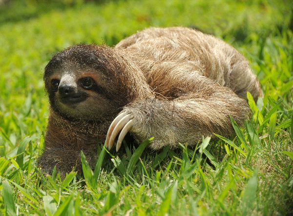 Three-toed sloth Information