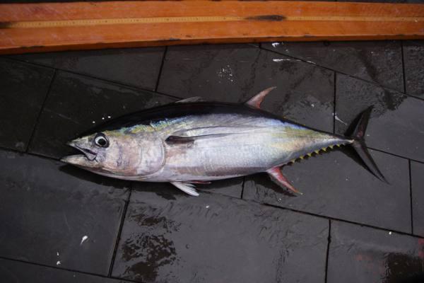 Yellowfin tuna Facts