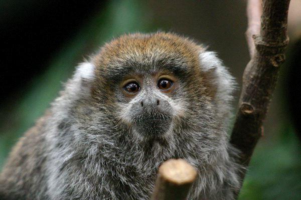 Titi Monkey - Genus: Callicebus