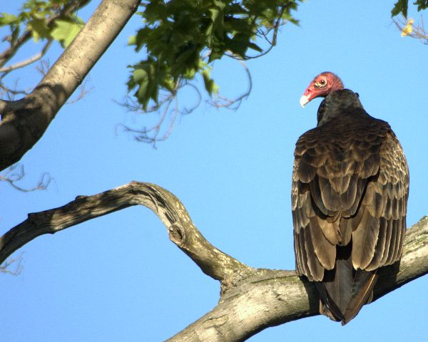 Turkey Vulture - Animal Facts and Information