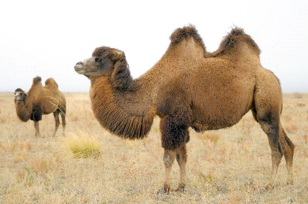 Bactrian Camels Information
