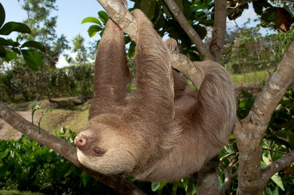 Two toed Sloth Information