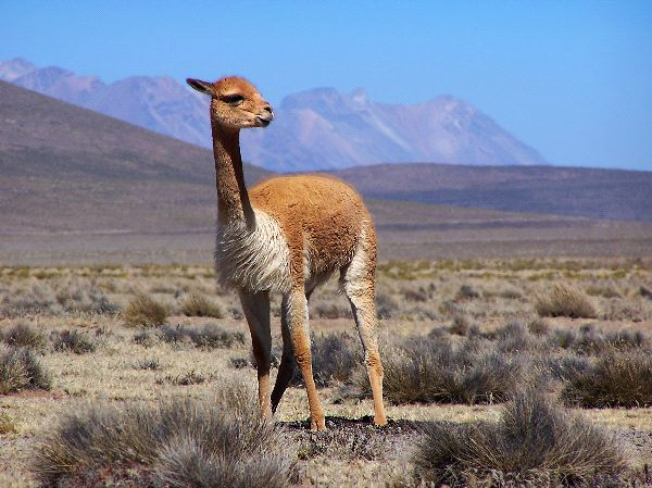 Vicuña Facts