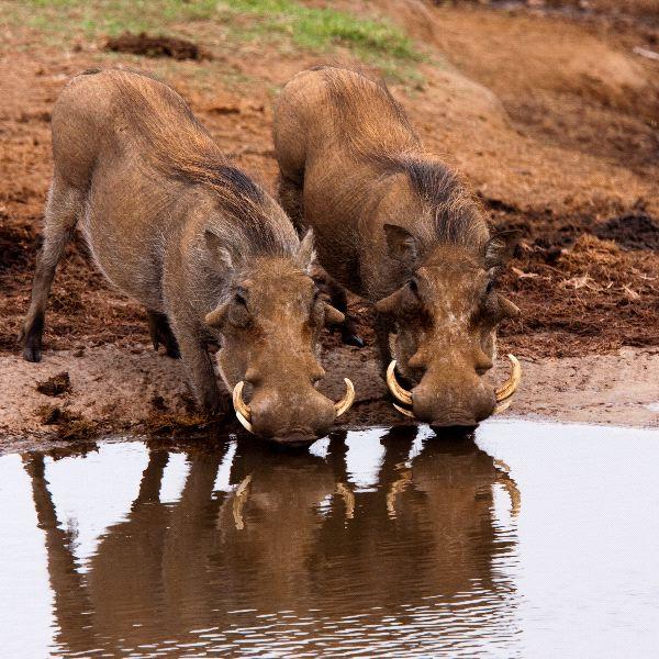 Warthogs Information