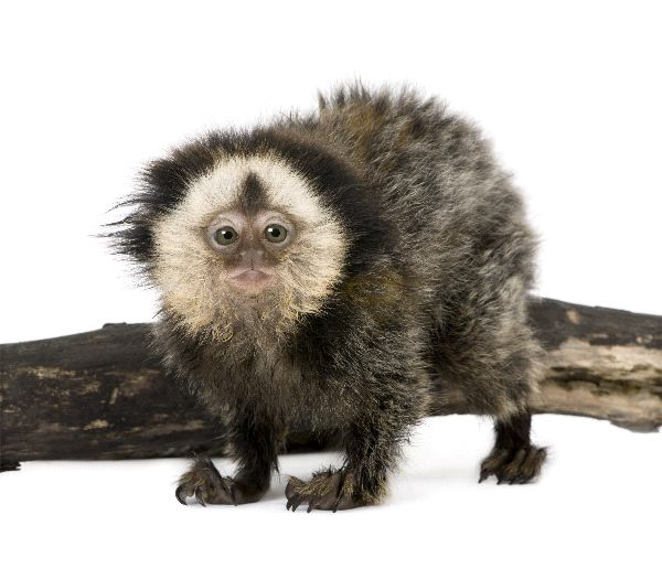 White-Headed Marmoset - Callithrix geoffroyi