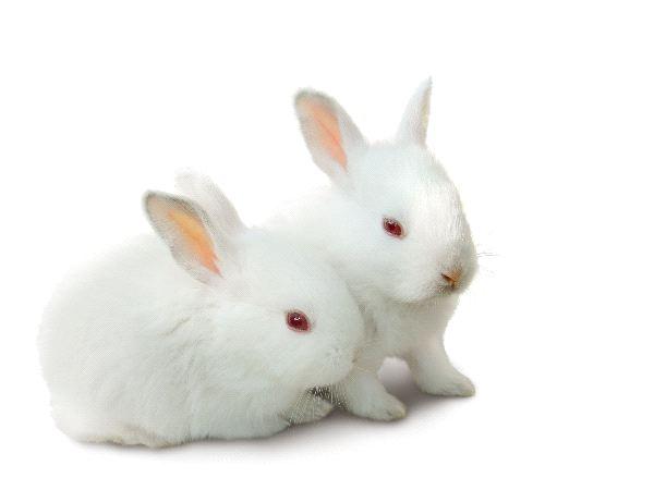 Rabbit - Family Leporidae
