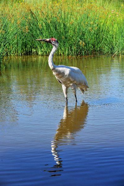 Whooping Crane Facts