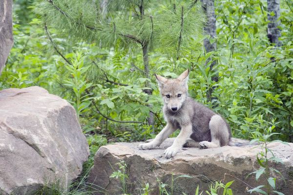 Eurasian Wolf - Canis lupus lupus