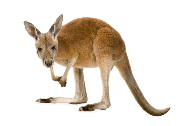 Red Kangaroo Joey Facts - Animal Facts and Information
