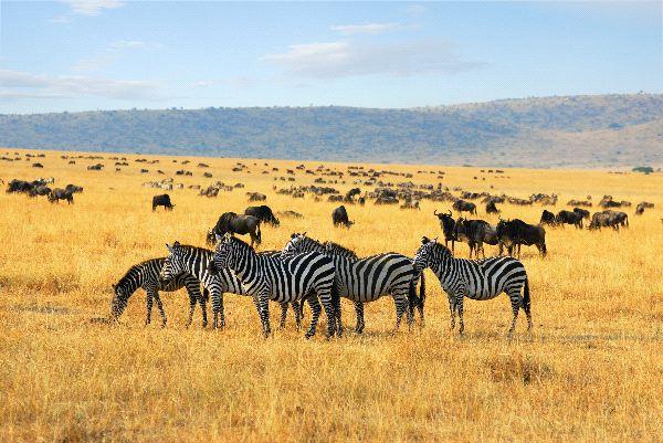 Zebras Information