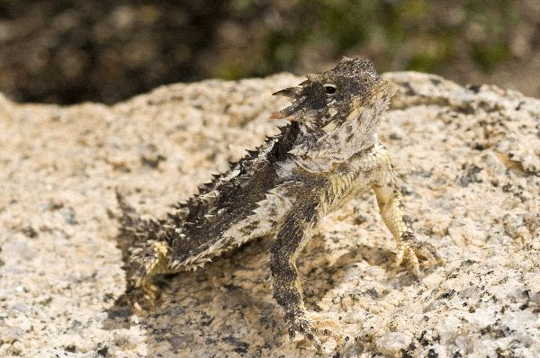 Horned Lizard Information