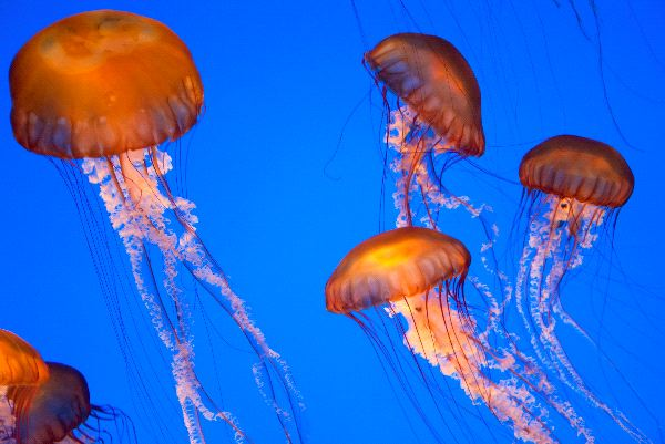 West Coast sea nettle Information