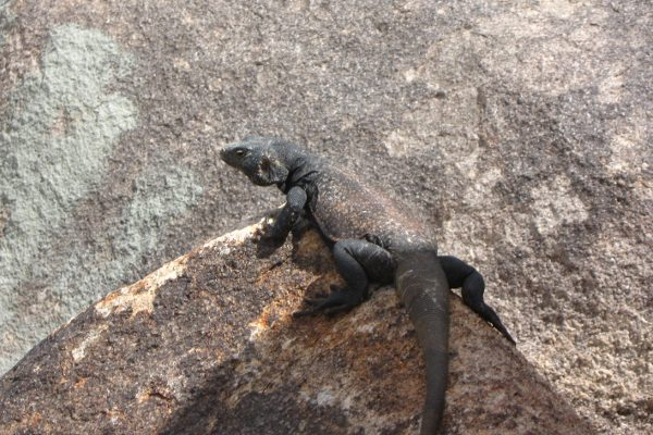 Chuckwalla Facts