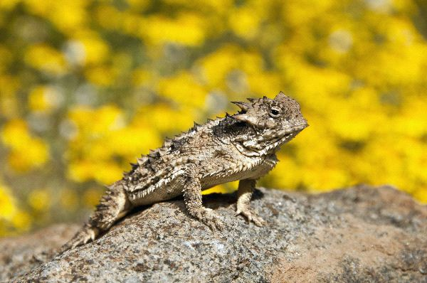 Horned Lizard Facts