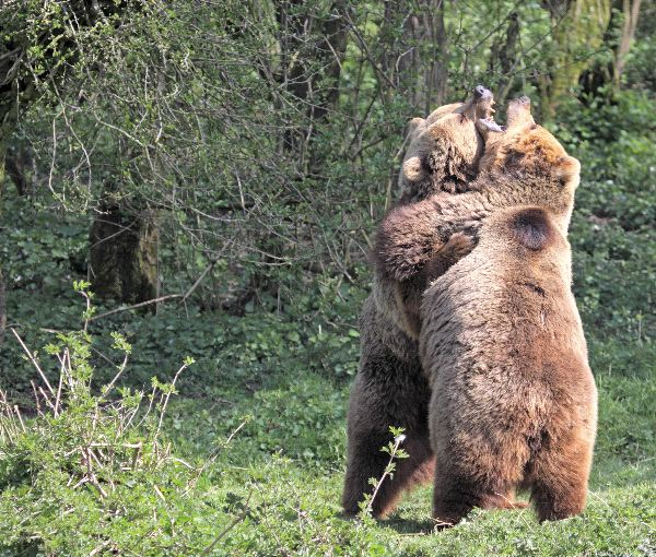 Bears natural predators