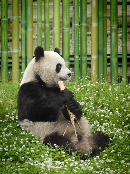 China Panda Facts