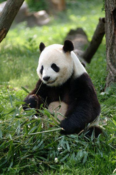 Giant Panda Feeding