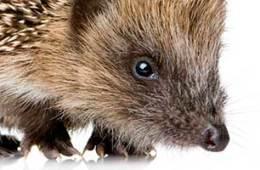 Hedgehog Hoglet