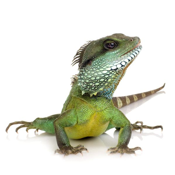 Lizard Evolution - Facts and Information