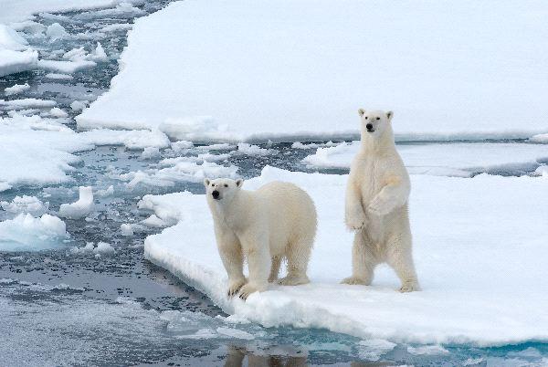 Polar Bears - Ursus maritimus