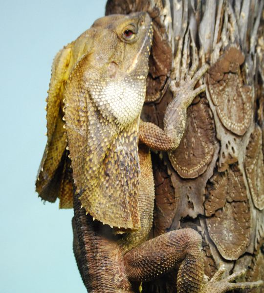 Frilled Dragon Information