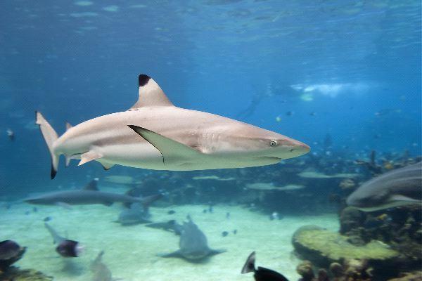 Black Tip Shark - Carcharhinus limbatus
