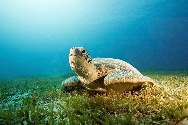 Green Sea Turtle Information