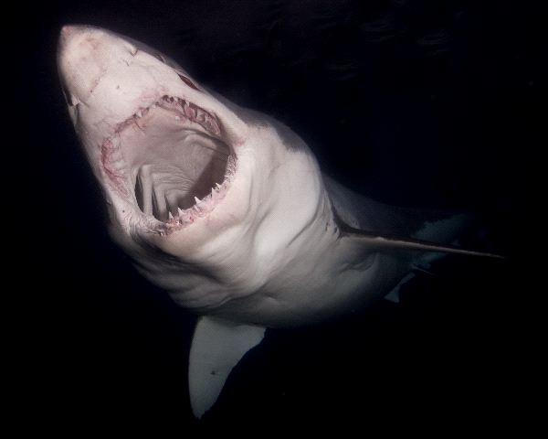 Shark Diet & Eating Habits