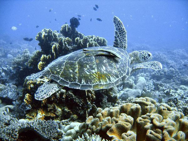 Green Sea Turtle Facts