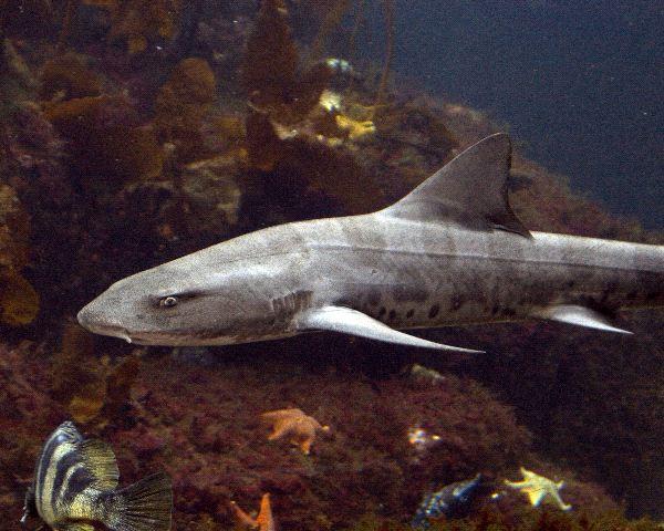 Leopard Shark - Triakis semifasciata