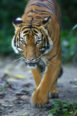Malayan Tiger Walking