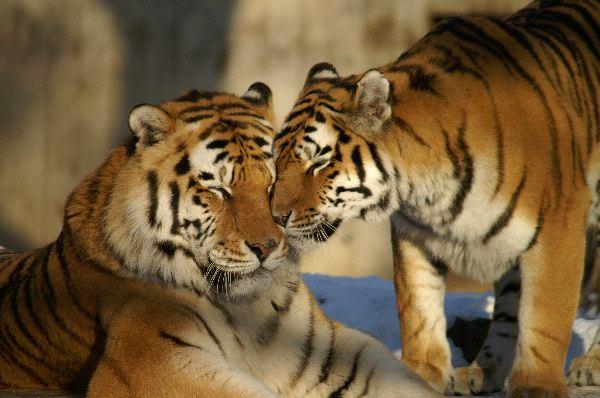 Nice Siberian Tigers