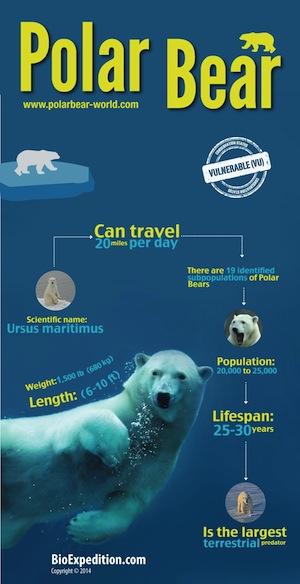 Polar_Bear_300